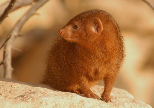 Dwarf mongoose by gma