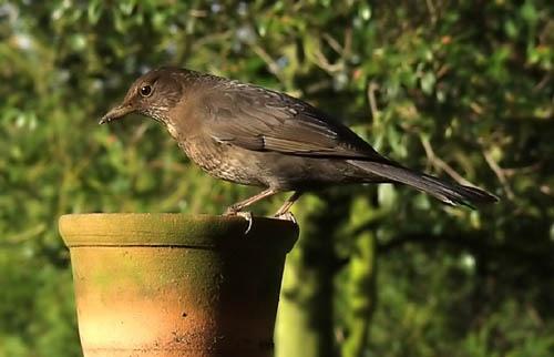Madame Blackbird by theyokel
