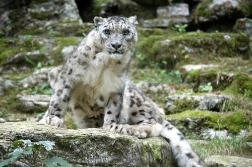 Snow Leopard by gma