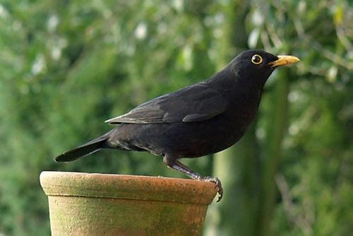 Mr Blackbird by theyokel