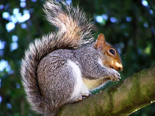 Squirrel by clazrules17