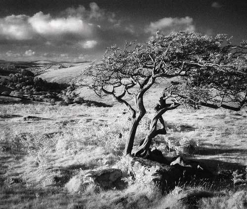 Dartmoor Tree by gpwalton