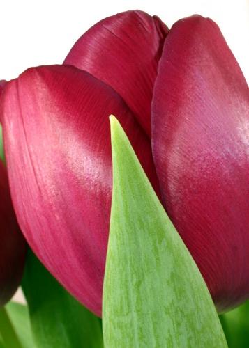 Tulips - up close by moggo