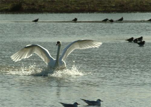 Swan Landing by bayesp