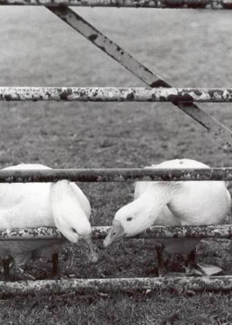 Guard Ducks by cal9