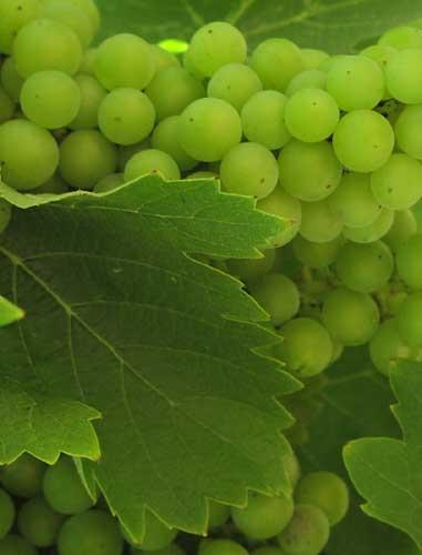 Grapes by Take-a-View