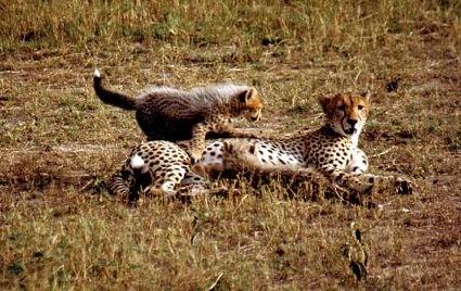 Cheetah by Bucks