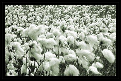 bog cotton by tandav