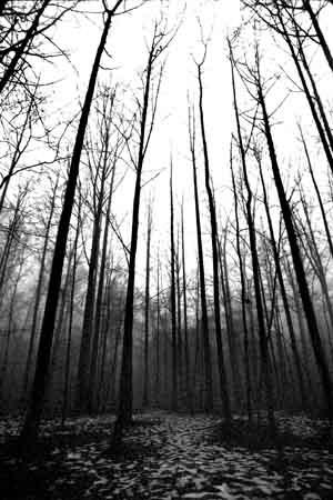 Tall trees by bernwebb