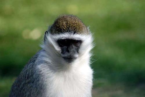 Monkey by jonnie