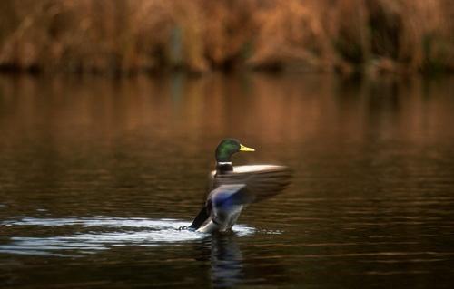 Duck by onewildworld