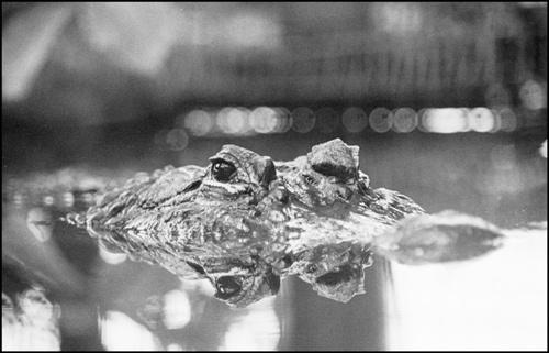 croc by gaz revs