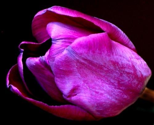 Tulip1 by tandav