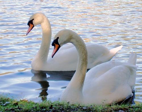 Twin Swans by mttmwilson