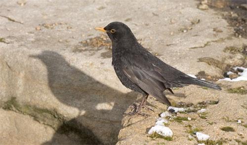 Blackbird by danpen