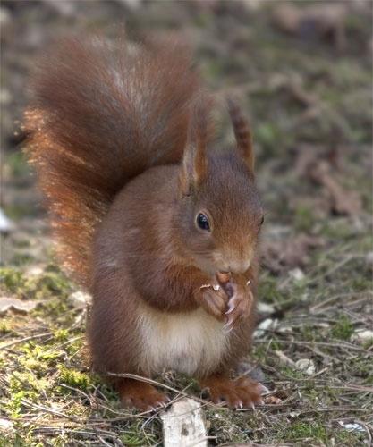 Red Squirrel by danpen
