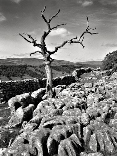 Limestone tree by tva