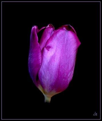 Tulip2 by tandav