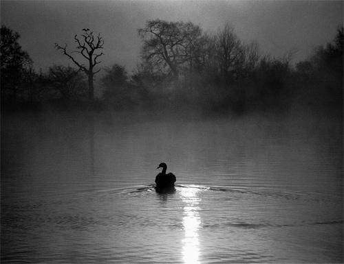 Black Swan. by bill j