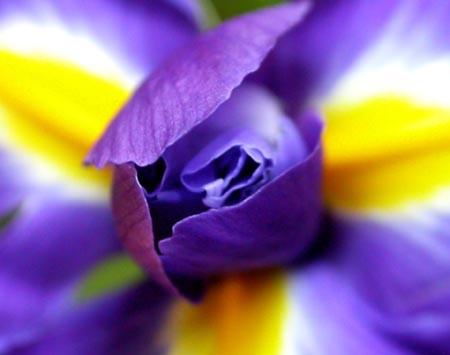 Iris1 by tandav