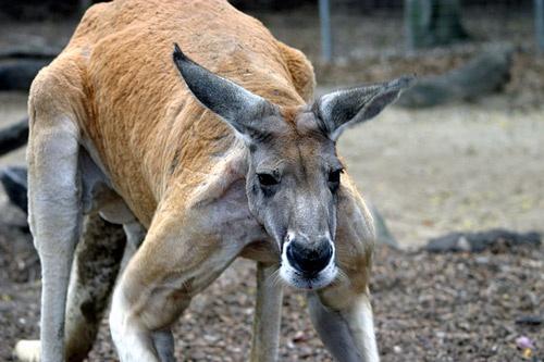 Big Red Kangaroo by adamm