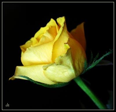 A Rose by tandav