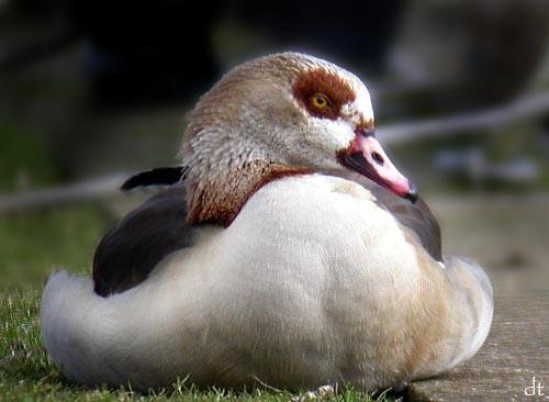 Egyptian Goose? by tandav