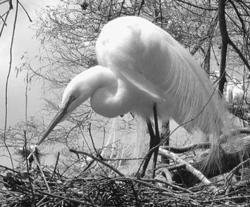 Great Egret Nesting by notabimbo