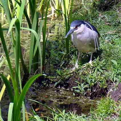 Little Blue Heron by notabimbo