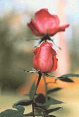 twin roses by swami1969