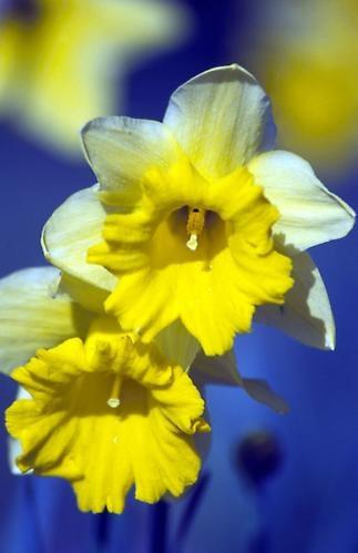 Daffodils by saxon_image