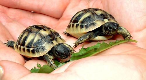 baby tortoise by pks