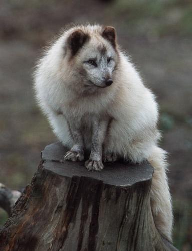 Artic fox by onewildworld