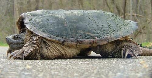 big turttle by jeffandrebecca