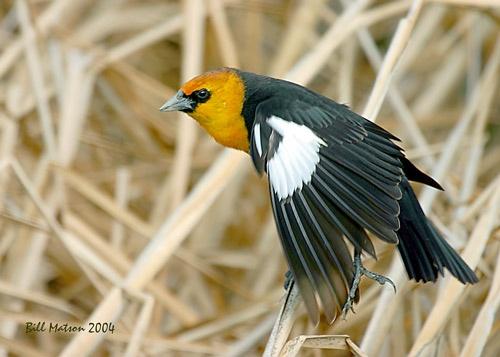 Blackbird by billma