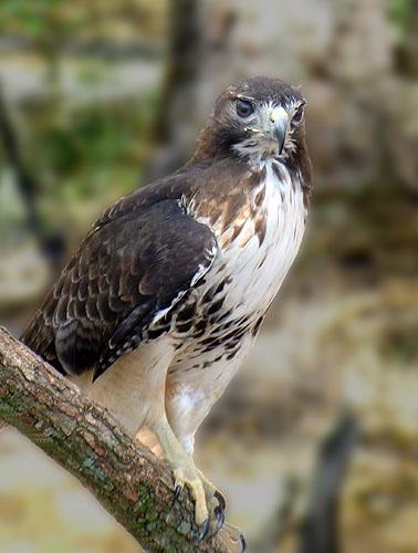 Hawk by notabimbo