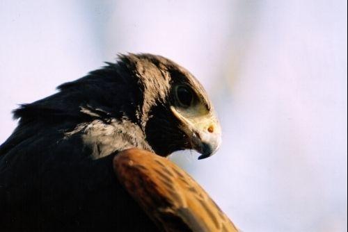 Harris Hawk by rperry