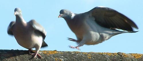 Argueing pigeons by dj.lambert