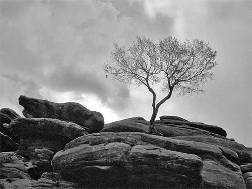 Tree at Brimham Rocks by tva