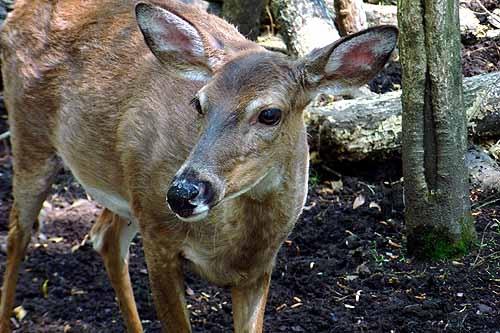 Whitetail Deer by notabimbo