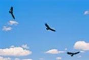 Colorado Condors by gonzo
