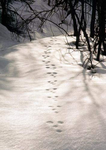 Rabbit tracks by goatster