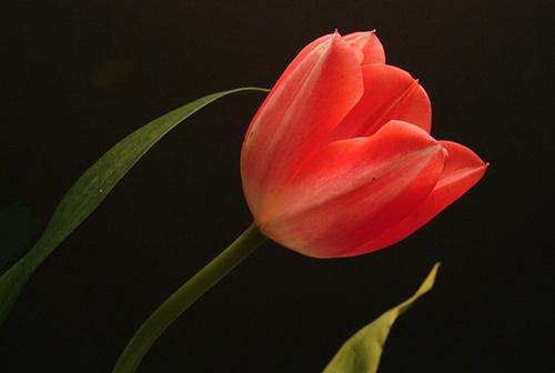 tulipan by niamh
