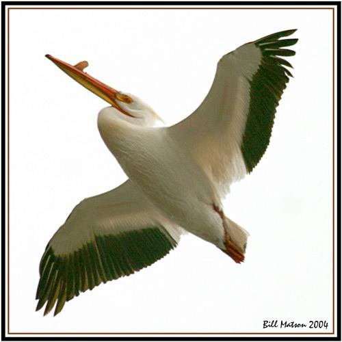 Pelican #2 The Glider by billma