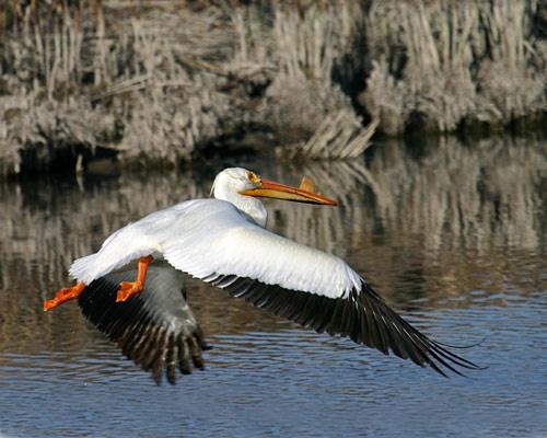 Pelican #3 Takeoff by billma