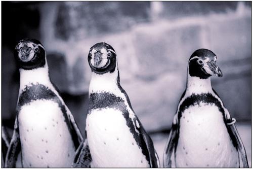 PINGU by mcnair