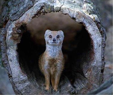Yellow Mongoose by ksroyall