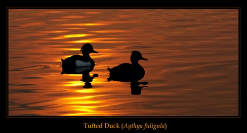 Tufted Ducks at Sunset. by justin c