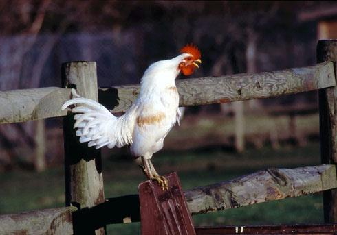 Cock A Doo Da Doo by em0231