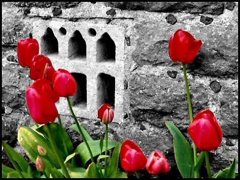 tulips by stevearm